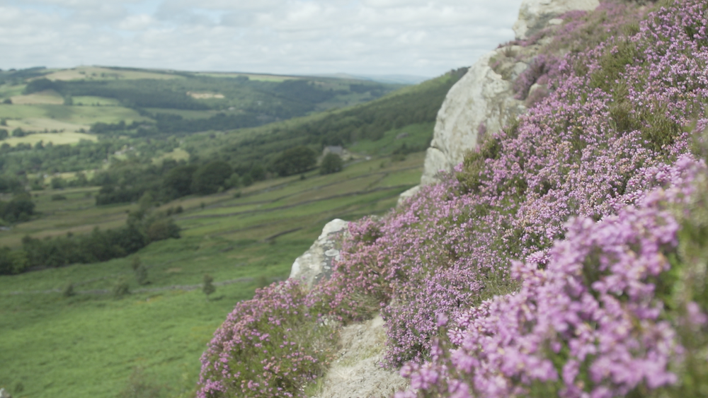 Purple Bell Heather Flowers blooming on the rocks of Baslow Edge, Peak District