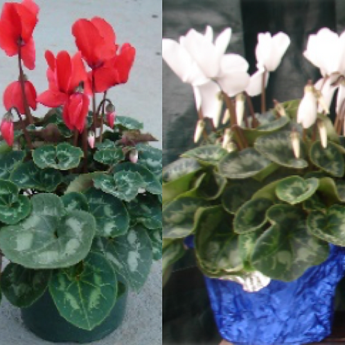 Cyclamen Potted Plants