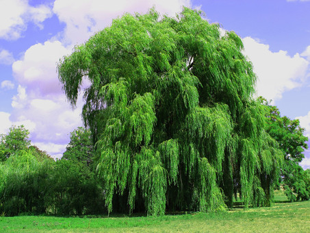 Willowbark: Mother Nature's Aspirin.