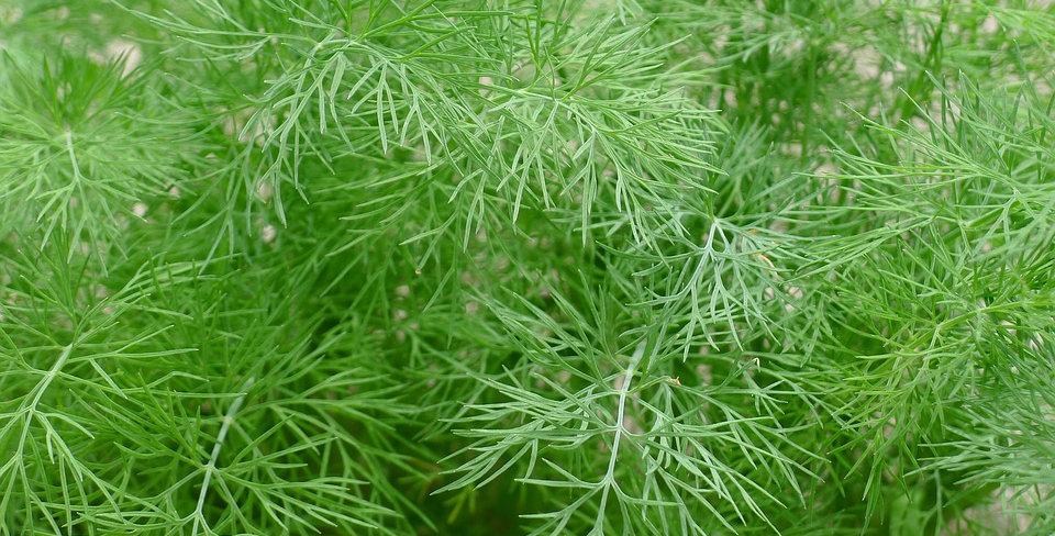 Herb plants (p-z)