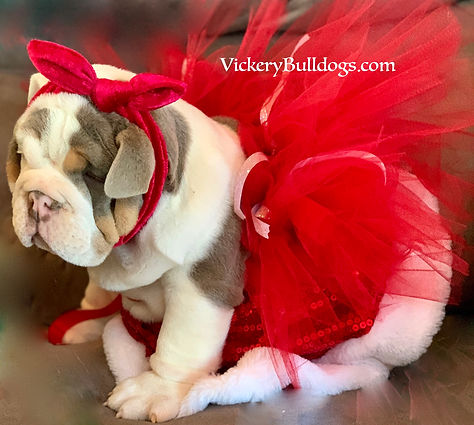 English Bulldog Puppies,Rare,Lilac,Merle,Georgia,Vickerybulldogs.com