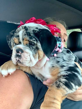 Merle English Bulldog Puppy- Vickerybulldogs.com