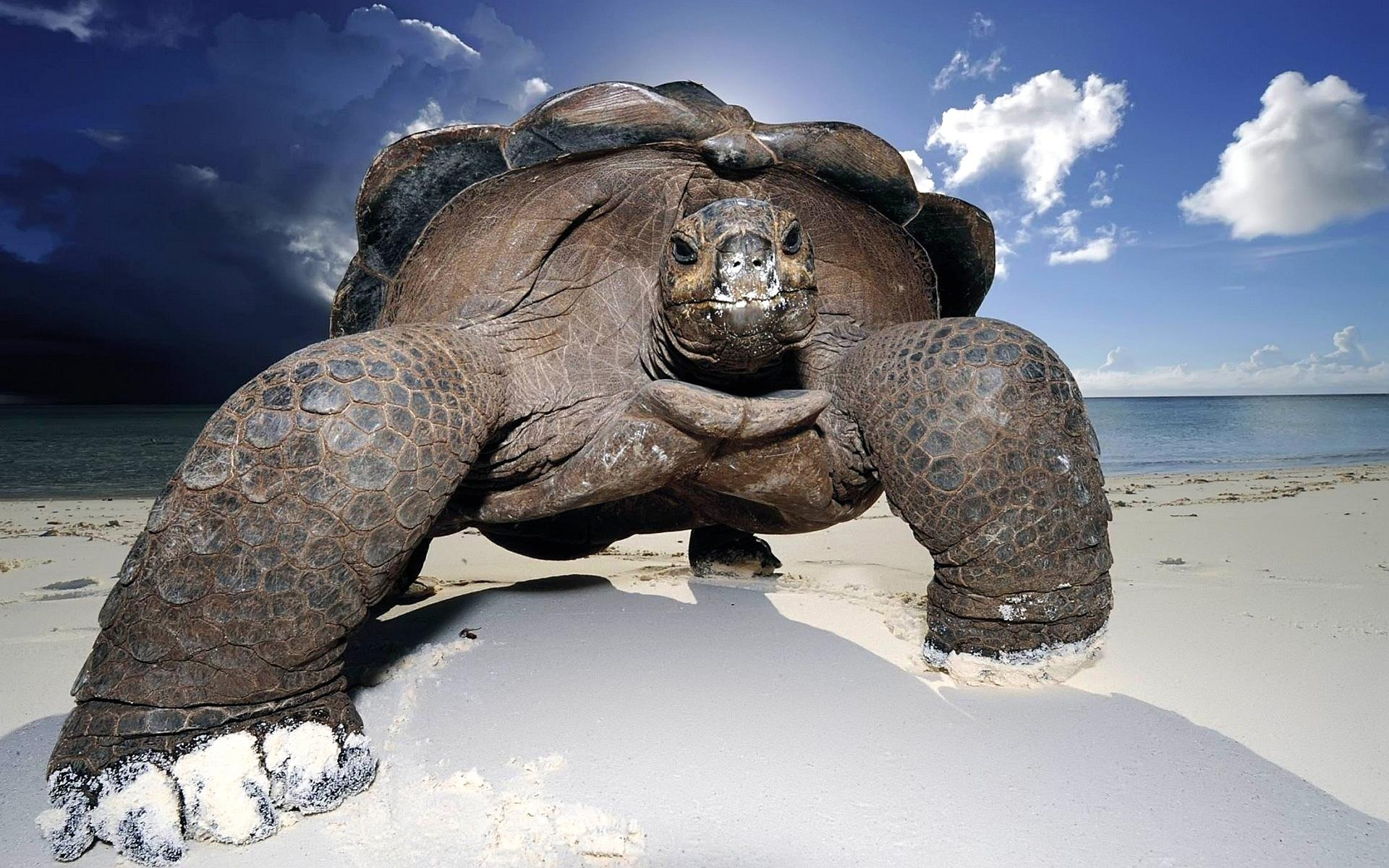 wallpaper-galapagos-giant-tortoise