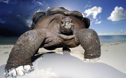 wallpaper-galapagos-giant-tortoise