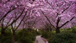 Cherry-Blossom-Wallpaper-Widescreen-Wallpaper_edited.jpg