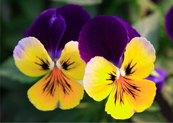 HOT-Flowers-Seeds-Pansy-Big-flower-pansy-Mix-Pansy-Seeds-Colors-Bright-50-Seed-p