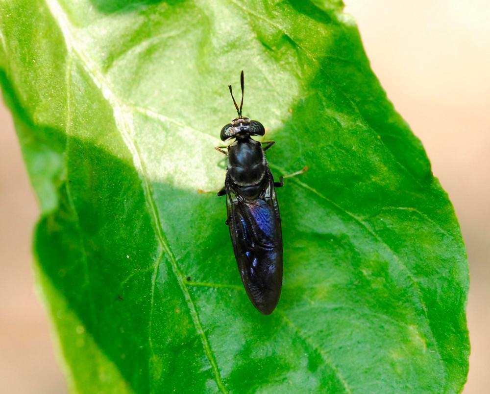 black soldier fly, Hermetia illucens