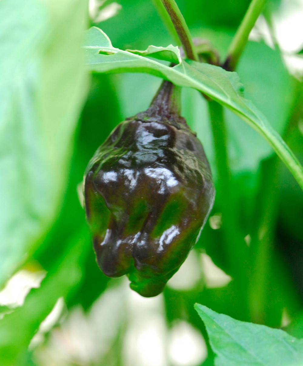 chili pepper—a chilhuacle negro black Oaxacan mole