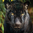 cart-black-jaguar-photo.jpg