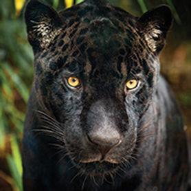 cart-black-jaguar-photo.jpg