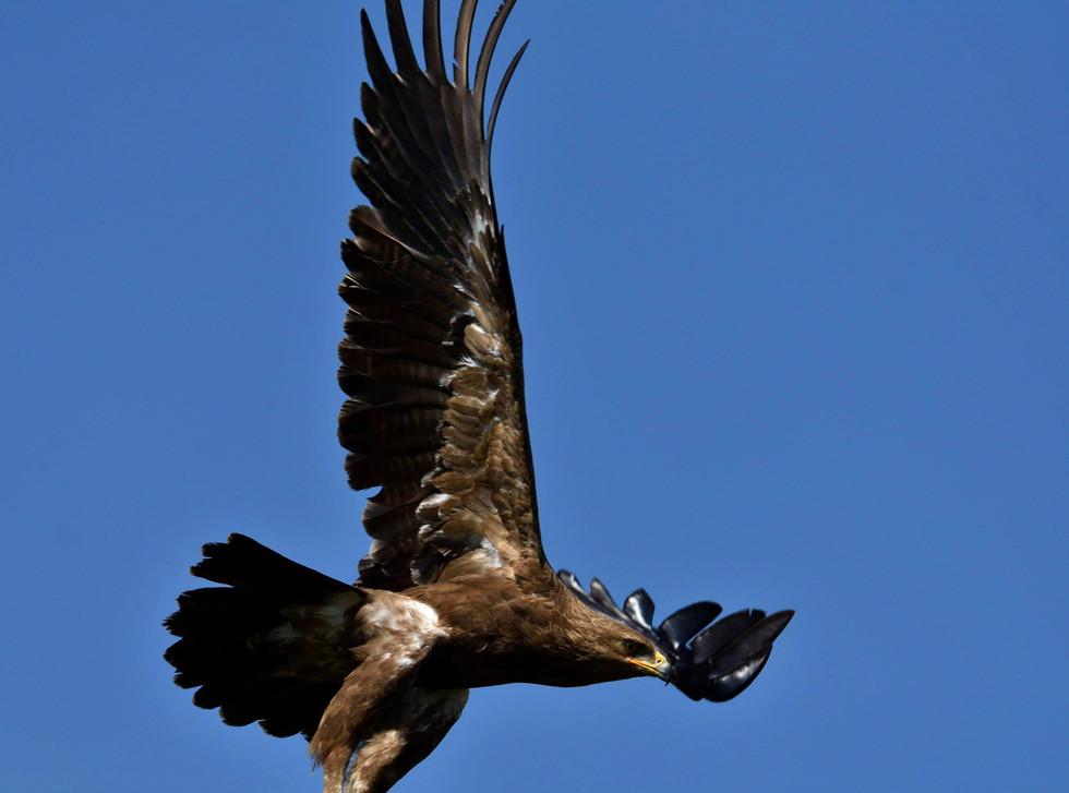Acvila țipătoare mică / Lesser spotted eagle