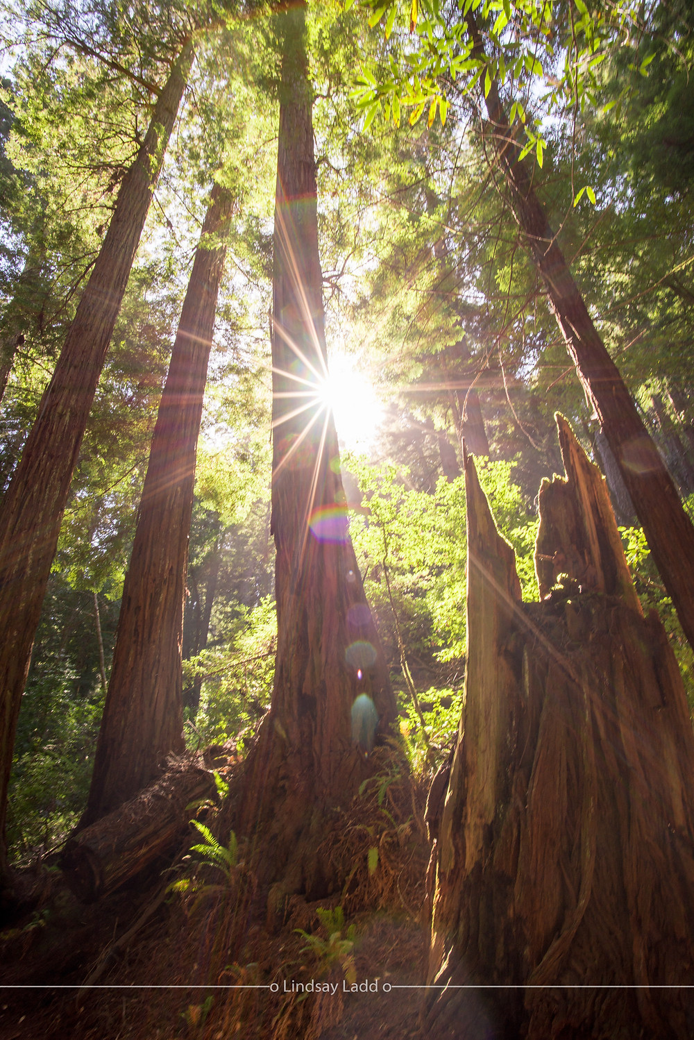 Redwood trees bathed in sunlight