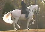 lusitano stallion paragrapho do top