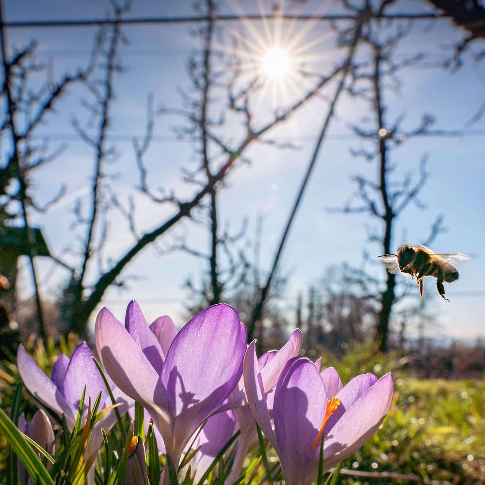 Krokus Arabelle Amacker Biene Frühling Leuk Honig
