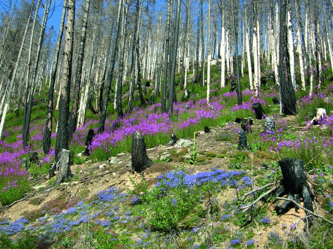 Verbrannter Wald oberhalb Leuk im Frühling