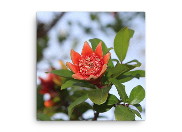 Orchard Blooms of a Pomegranate Canvas Print