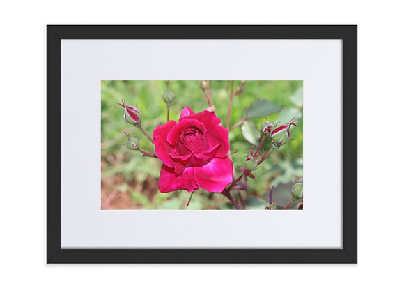Homestead Albania Red Roses Matte Paper Framed Poster With Mat