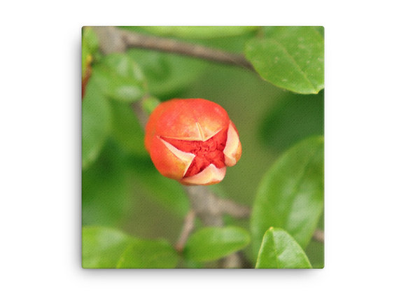 Pomegranate Bloom X Canvas Print