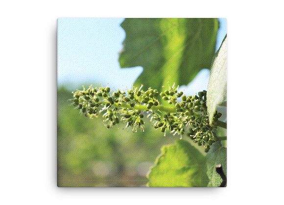 Homestead Albania Vineyard Blooms Canvas Prints