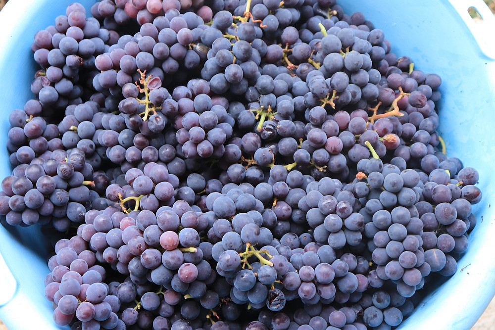 Çilek, a native Albanian grape for our wine