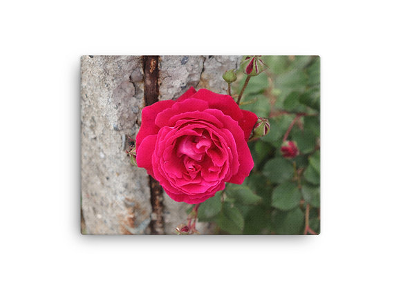Homestead Albania Red Rose Canvas Print