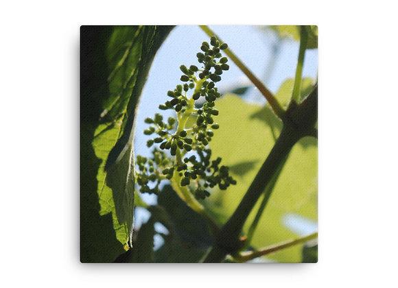 Shadowed Vineyard Grapes Canvas Print