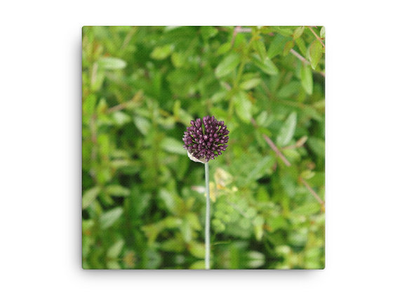 Purple Leek Bloom Canvas Print