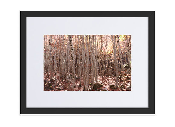 Birch Trees Boge, Albania Matte Paper Framed Poster With Mat