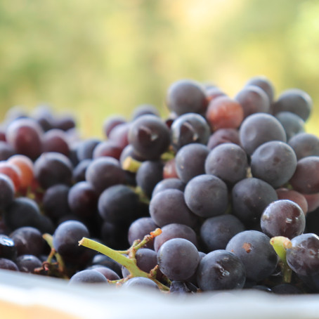 Hand Picked Grapes for Wine
