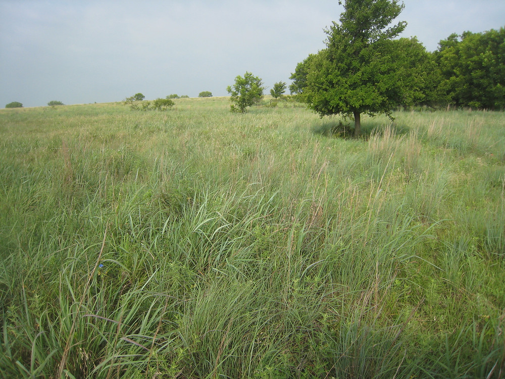 In this picture: Texas native tall grass prairie land that would be flooded - one of the rarest natural ecosystems in the United States - if Lake Ringgold were to be built.