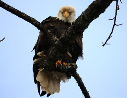 Watching eagle