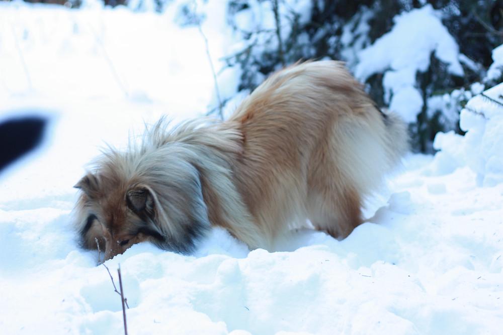 Collie wühlt im Schnee
