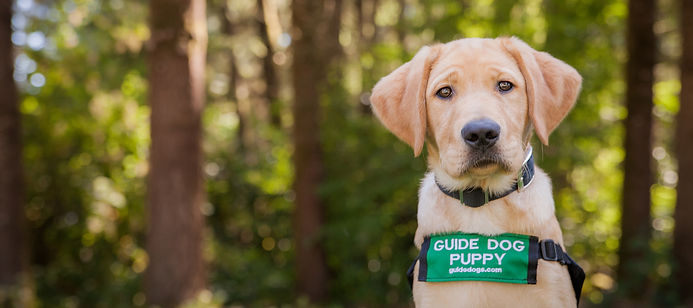 guide dog puppy.jpg