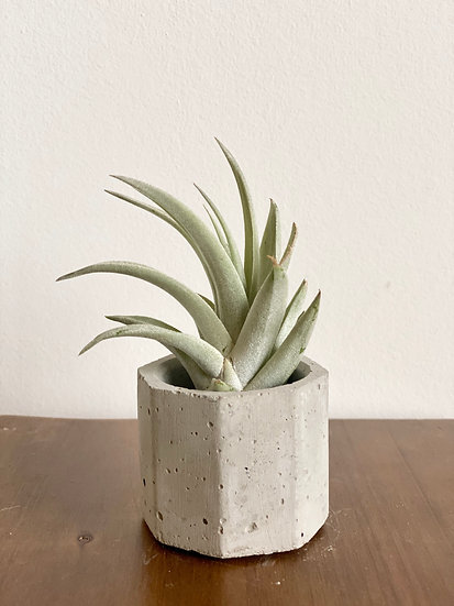 Air Plant w/ Concrete Planter