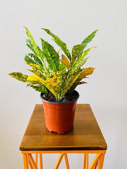 "4"" Gold Dust Croton"