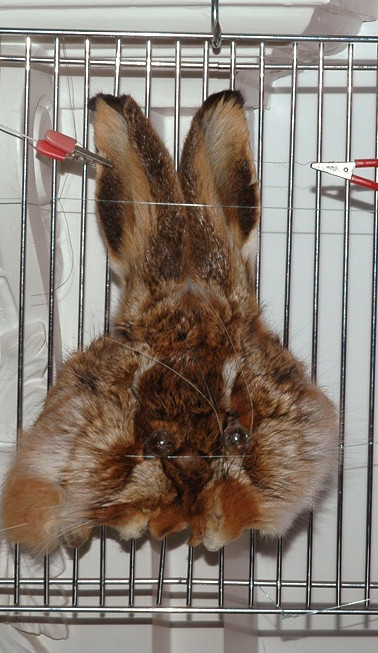 pariah bunny