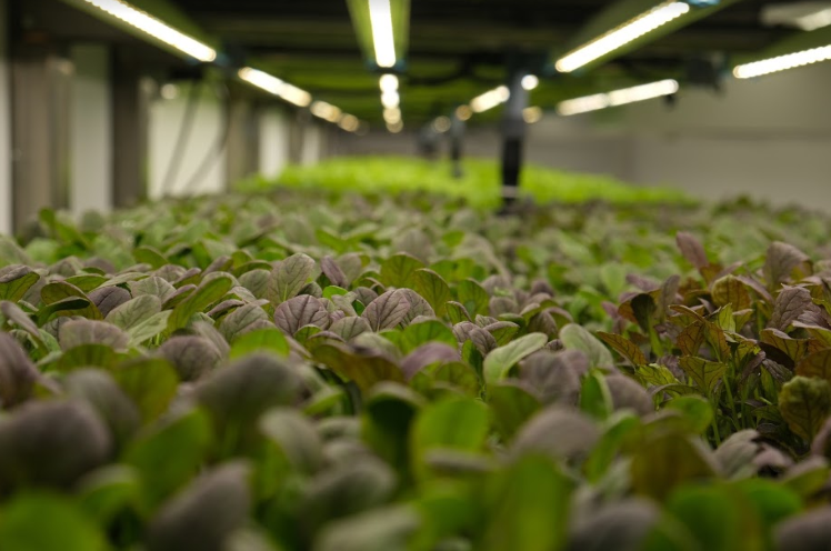 Greens growing under LED lights inside our Future Farming Hub R&D facility and vertical farm at the James Hutton Institute (Dundee, Scotland)