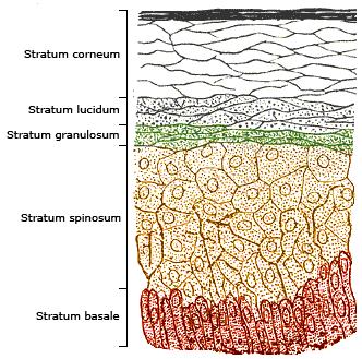 Epidermis layers: sawyer.com