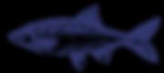 Fisch mit Skalen Skizze