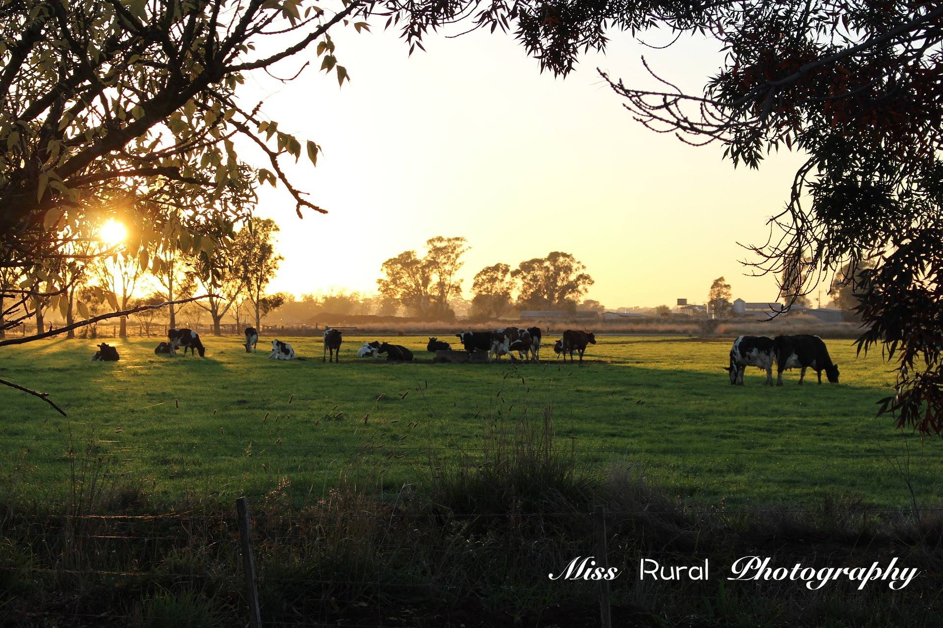MFO Cows in Paddock