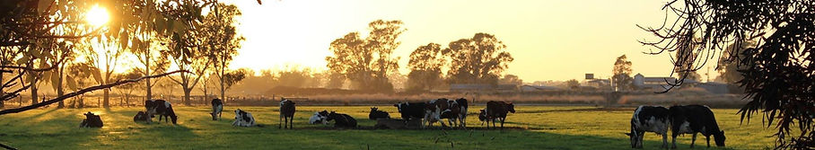Dairy cattle grazing in paddock