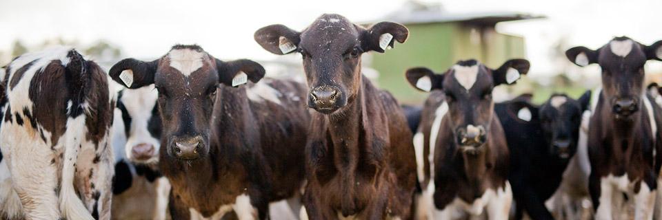 KVDG Cows 1