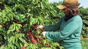 Da colheita à xícara, café dribla adversários gerados pela pandemia