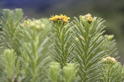 Arrowsmithia corymbosa, Drakensberg