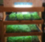 Microgreens local greens. Indoor Edible Lanscaping