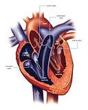 heart valve.jpg
