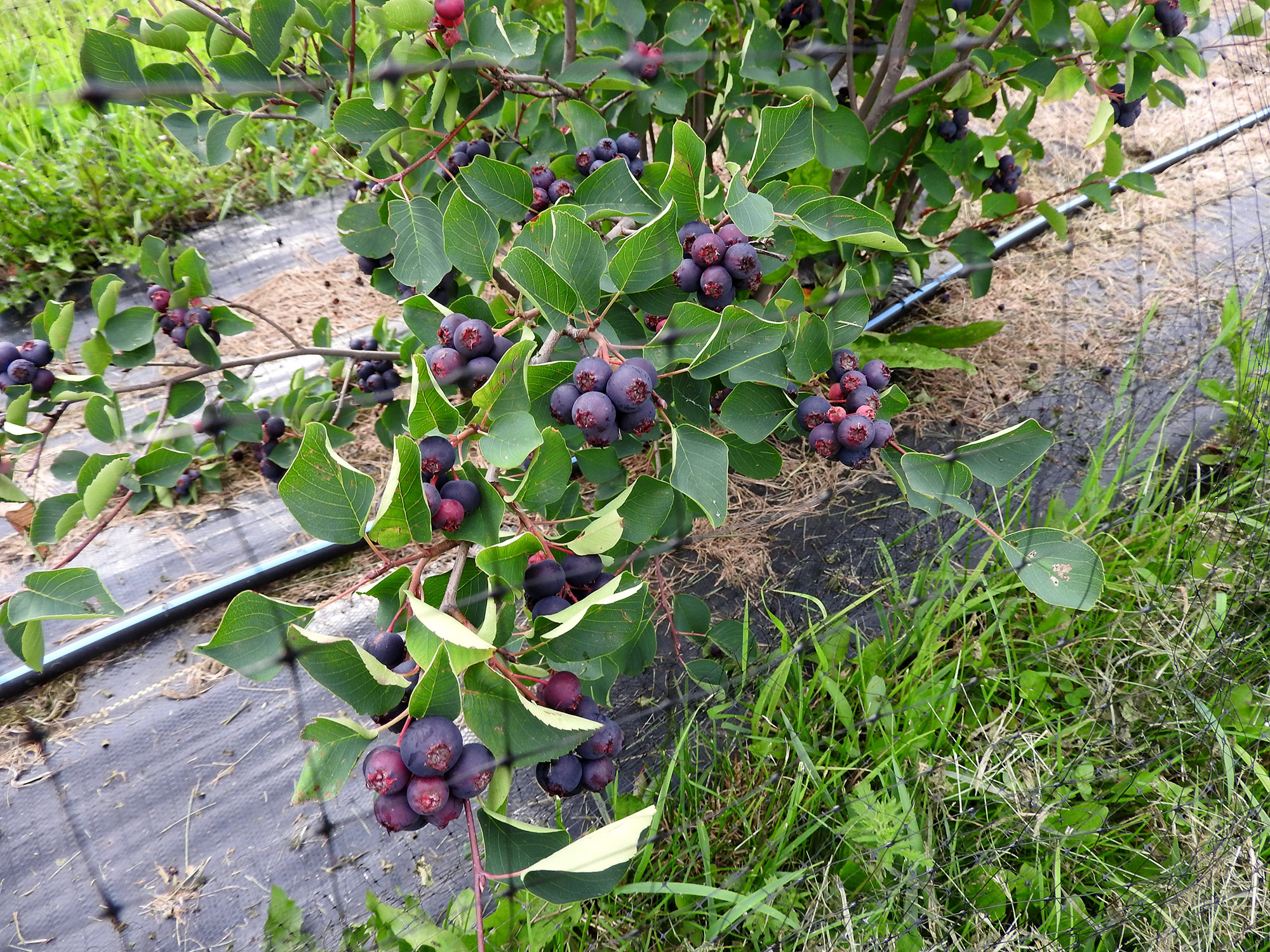 Juneberry bush
