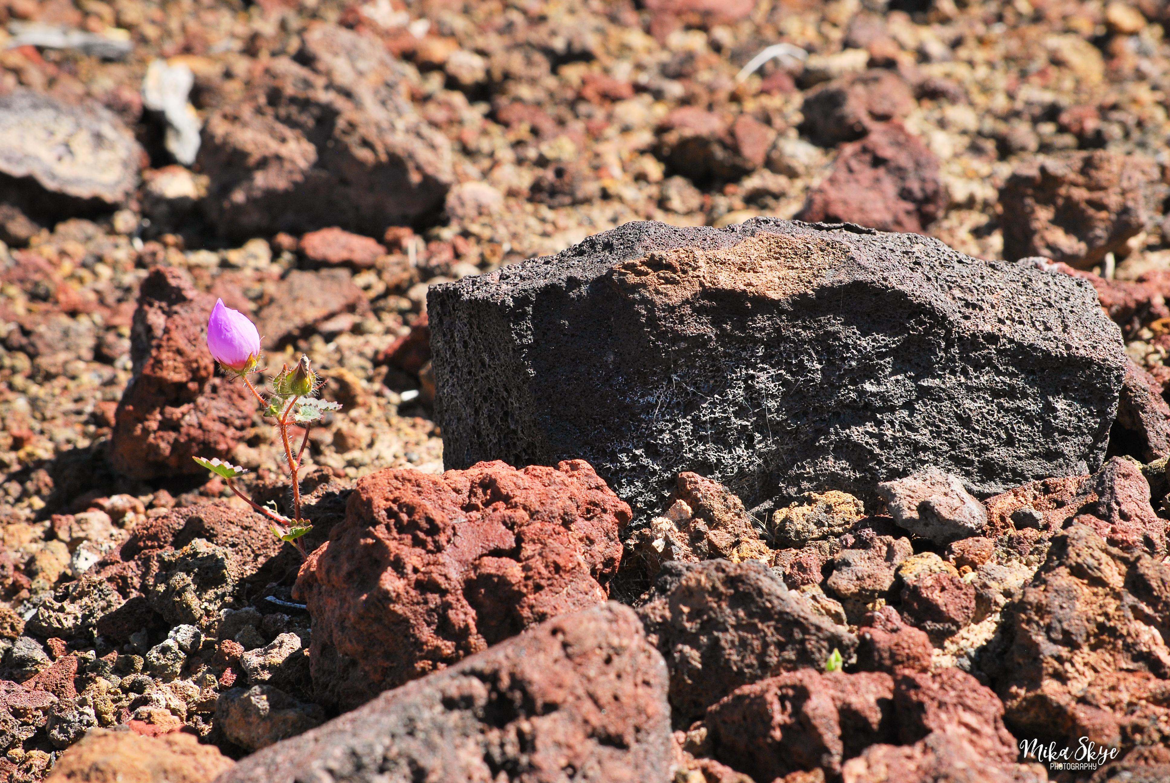 Desert Five Spot