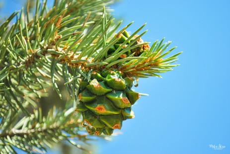 Baby Pine Cone