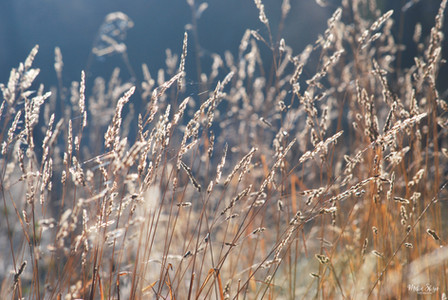 Blue Gray Grasses
